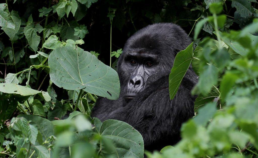 Uganda Gorillas & Wildlife Safari