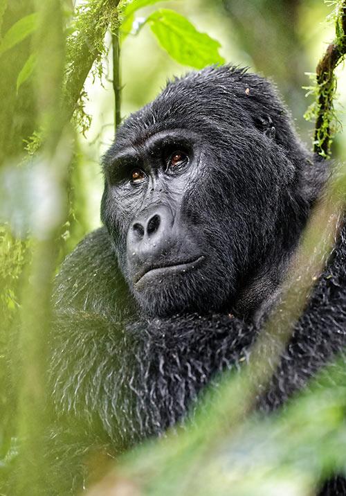 Mountain Gorilla Trekking Safaris